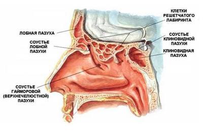 ...надо сначала кратко изложить анатомическое строение так называемых синусов, или придаточных пазух полости носа...